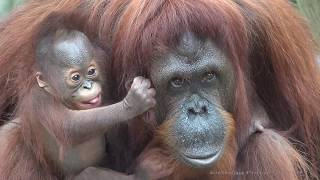 Download [4K] Who is a pretty baby orangutan? Video