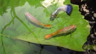 Download Cross Breeding Guppies: Neon Blue x Sunset Micariff Strains Video