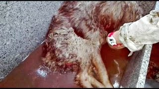Download Dog being eaten alive by maggots is saved by heroes Video