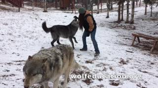 Download Wolves in Snow Video