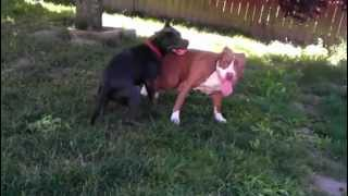 Download Rednose pitbull playing with razor edge pitbull. Video