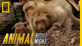 Download Clash of Macaque Monkey Clans | Animal Fight Night Video