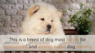 Download 11 Unique Facts You Should Know About Chow Chow Video