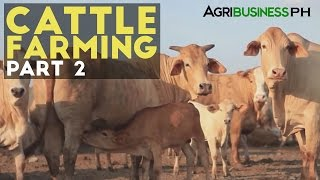 Download Cattle Farming Part 2 : Zero Grazing Cattle Farming | Agribusiness Philippines Video