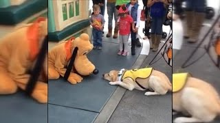 Download Guide Dog in Training Gets Super Excited Meeting Pluto at Disneyland Video