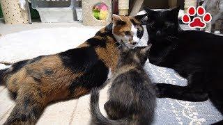 Download 猫達の仔猫への態度の違い【瀬戸の猫部屋日記】Cats Difference in attitude towards kitten Video