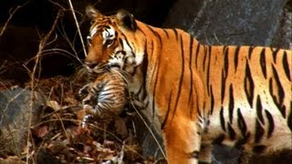 Download Wild tiger cub - for the first time on film - David Attenborough - Tiger Spy in the Jungle - BBC Video
