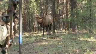 Download Bowhunting Elk: Monster Bull at 10 Steps Video