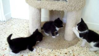 Download Tuxedo kittens at play. Video