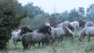 Download Wild and beautiful - the Konik ponies of Wicken Fen Video