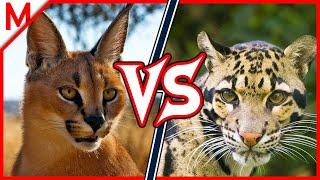 Download Caracal vs Clouded Leopard | ANIMAL BATTLE (+Dingo vs African Wild Dog winner) Video