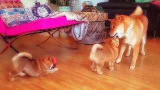 Download daddo potat-o-sit - MLIP / Ep 159 / Shiba Inu puppies Video