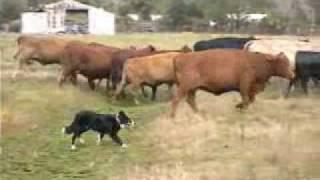 Download Border Collies Herding Cattle Video