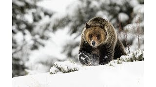 Download Wildlife Photography - Snow Day with Grizzly Bears Video