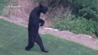 Download New Jersey's Walking Bear Mystery Solved Video
