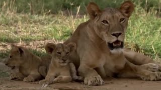 Download Lions: From Cute Cubs to Apex Predators | BBC Earth Video