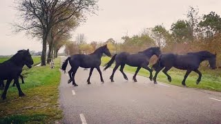 Download You will never believe how we bring in these amazing Friesian horses. Video