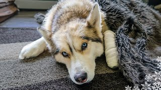 Download SHELBY HAS SURGERY 😥Husky goes in for Surgery at the Vet Video