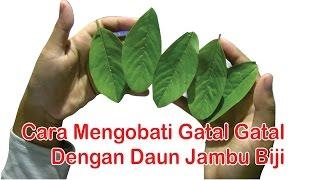 Download ″Obat Herbal Kulit Gatal″, Cara Mengobati Kulit Gatal Dengan ″Manfaat Daun Jambu Biji″ Video