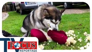 Download Problemhusky: Ein Fall für Hundetrainer Holger Schüler - Focus TV Reportage Video