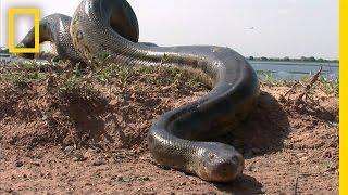 Download 5 Grown Men Vs. 1 Big Snake | National Geographic Video