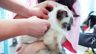 Download 猫咪不幸患上猫传腹,在好心网友的帮助下主人终于拿到了特效药 Video