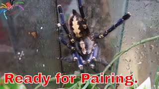 Download My AF Poecilotheria sp - Ready For Love. Video