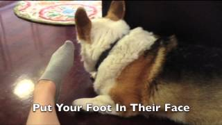 Download How To Mildly Annoy Your Dogs (Corgi Edition) Video