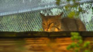 Download Bobcat Rehab and Release Cam 08-31-2018 04:14:55 - 05:14:56 Video