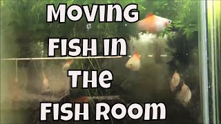 Download How to Move fish to new tanks Moving Fish to New Tanks Aquarium Fish Room VLOG Video