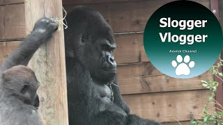 Download Silverback Gorilla Trying To Keep Calm As He Puts Up With Sons Antics Video