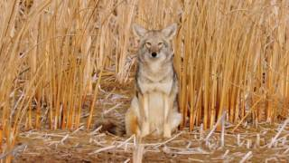Download Coyote Country: myth vs fact Video