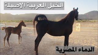 Download لمحبين الدماء المصرية - زيارة مربط طيبة للخيل العربية الاصيلة Video