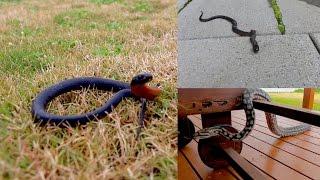 Download Common Snakes Around Adelaide SA - Ep. 3 Video