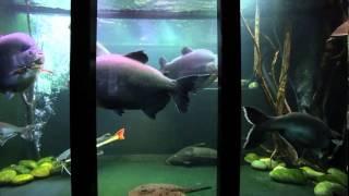 Download Jack Heathcote's giant tropical aquarium Video