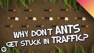 Download Why Don't Ants Get Stuck In Traffic? Video