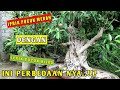 Download Bonsai Beringin Iprik Pucuk Merah Dan Bonsai Beringin Pucuk Hijau Video