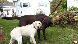 Download YELLOW LAB MEETS CHOCOLATE LAB! Video