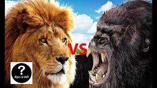 Download Khỉ đột Gorilla vs Sư tử, con nào sẽ thắng #31 || Bạn Có Biết? Video