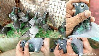 Download HIGH FLYING GREEN EYES MADRASI PIGEONS OF JAHED BHAI (দেখুন সবুজ চোখের মাদ্রাসী কবুতর /পায়রা ) Video