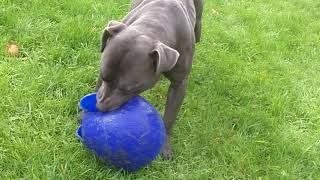 Download Staffordshire Bull Terrier Chester whizzing. Video