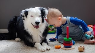 Download Border Collie Playing with Baby Child - Funny Videos of Dog and Baby Video