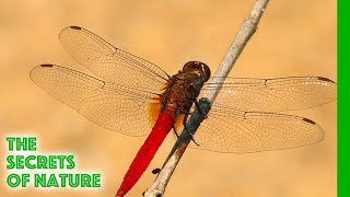 Download Sky Hunters, The World of the Dragonfly - The Secrets of Nature Video