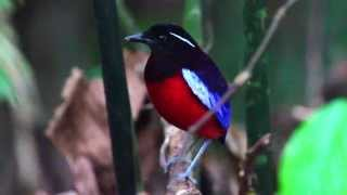 Download Birds of Sepilok - Rainforest birds of Sabah Video