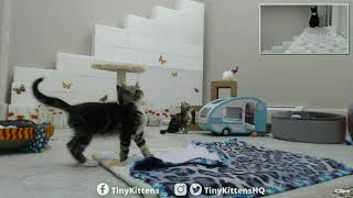 Download Auracuda visits Allie and Bentley - TinyKittens Video