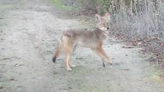 Download Doberman and coyotes check each other out. Video