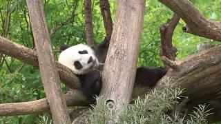 Download Panda-Zwillinge im Juni 2017 | Tiergarten Schönbrunn Video