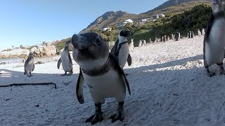 Download African Penguins at Boulders Beach, Cape Town Video