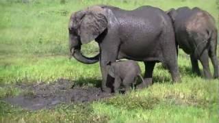 Download Chobe słonie Video