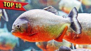 Download Top 10 Aggressive Aquarium Fish Video